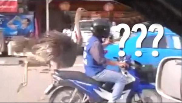鸵鸟现身泰国街头狂奔甩下摩托∞车