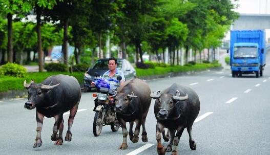 大叔骑摩托车都市放牛玩穿越吗?