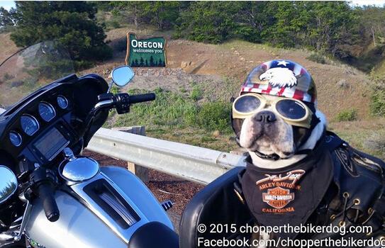 不会耍酷的萌宠不是好暖男:医疗狗狗骑摩托探病