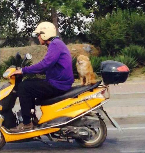狗狗坐摩托60迈不用安全带纹丝不动