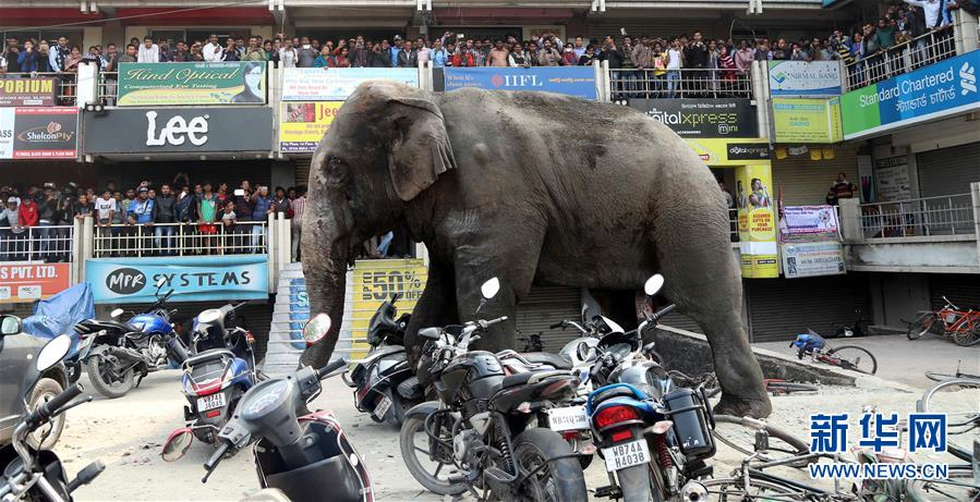 印度大象冲入市区踩烂汽车摩托车最终被降服
