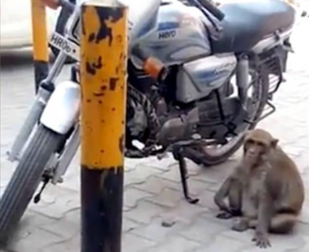 印度一猴子趁摩托车主不在偷喝汽油被抓现行