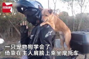 狗狗学会独自站立 摩托车后座紧抓主人潇洒兜风